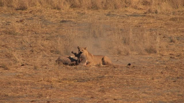A lioness attacks and kills a young kudu as a flock of birds flies overhead. Available in HD.