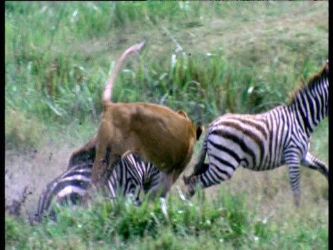 Lioness chases and leaps onto the back of a zebra and brings it down, Africa