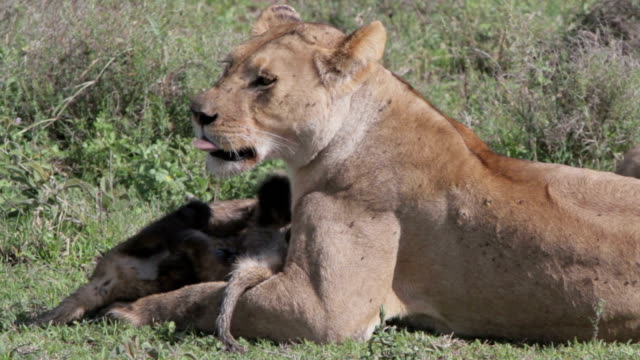 lioness cleaning cub closeup