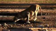 Lioness drinking at waterhole