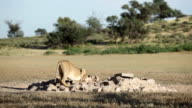 Lioness drinking from a watering hole, Kgalagadi Transfrontier Park, South Africa