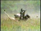 Lioness flies at wildebeest, skids then rolls over pulling wildebeest down.