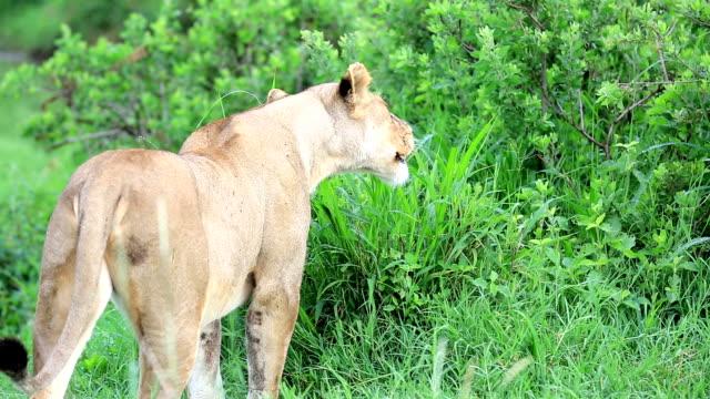 Lioness Grazing