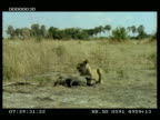 MS Lioness holding sitting over live Warthog (Phacochoerus aethiopicus), 2nd lioness arrives and takes stranglehold