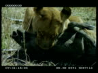 CU lioness killing Warthog (Phacochoerus aethiopicus) by stranglehold, pan right to 2nd lioness licking prey