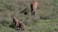 lioness leaving - cubs following