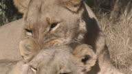 ECU Lioness licking cub in field, Savuti, Botswana