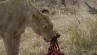 Lioness licks at carcass then carries it away.
