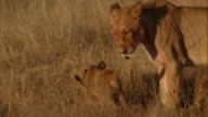 A lioness licks at her cubs as they wrestle. Available in HD.