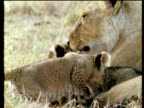 Lioness licks cubs