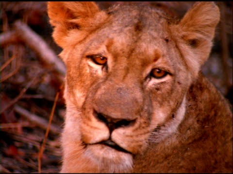 Lioness looks at camera, then looks away, Botswana