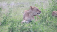 Lioness Lying, Head Up, In The Brush, 2 Cubs Enter, Licks