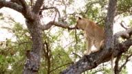 Löwin auf Baum im Krüger-Wildschutzgebiet