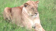 Lioness Resting and Sleeping