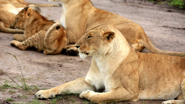 Lioness resting with cubs