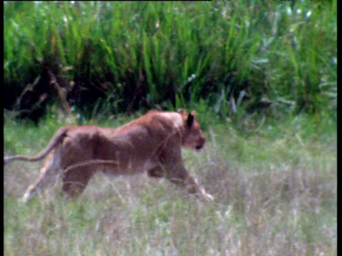 Lioness running across grass, leaps onto and grapples zebra to ground, Masai Mara.