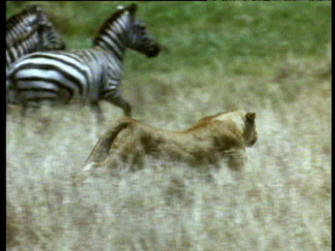 Lioness runs after fleeing zebra herd on savanna.