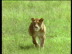 Lioness runs towards camera chasing zebra