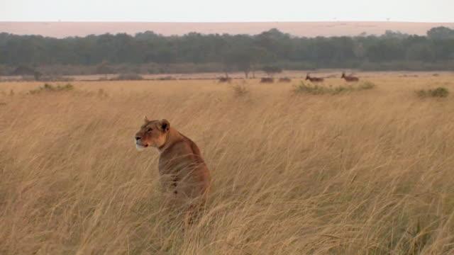 MS, Lioness (Panthera leo) sitting in grassy field, topi (Damaliscus lunatus) in distance, Masai Mara, Kenya