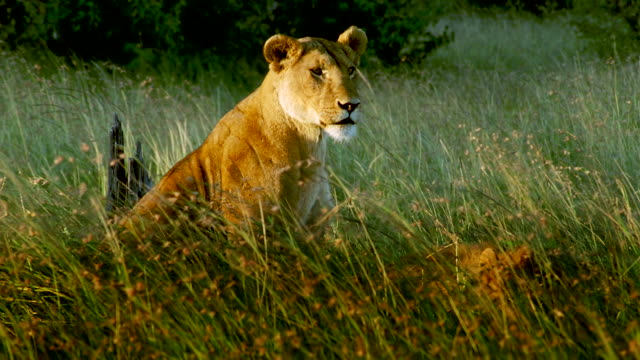 MS Lioness sitting in long grass / Masai Mara, Kenya