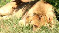Lioness sleeping with flies