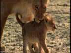 Lioness tries to pick up cub first by its tail and then by its neck