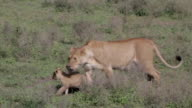 lioness walking with her cubs in the veld