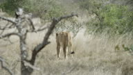 Lioness walks away through grass.