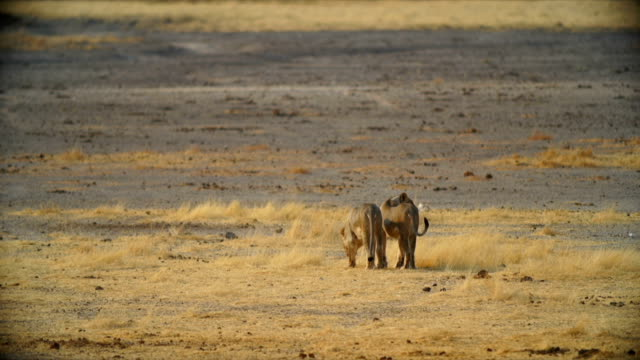 WS Lionesses drinking water / Namibia