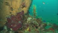 Lionfish, 4 on sponge, beauty shot, push. Indonesia
