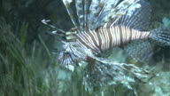 Lionfish (Pterois sp.) catches prey, in sea grass, Southern Visayas, Philippines