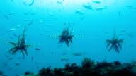 Lionfish (Pterois) Fish on Kled Kaeow Ship Wreck Dive Site, Andaman Sea, Krabi, Thailand.