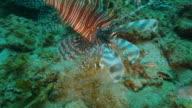 Lionfish hunting undersea in Pacific Ocean (4K)