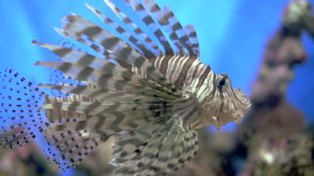Drakfisk på ett rev