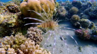 Lionfish / Pterois in shallow water on Coral reef in Red Sea / Marsa Alam - Egypt