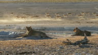 Lions and springbok at waterhole