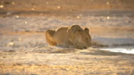 Lions drinking at waterhole during sunrise