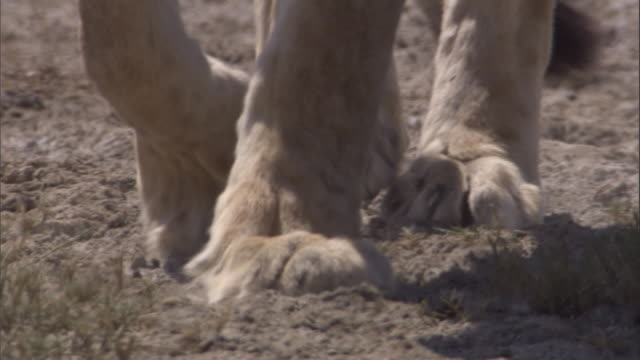 A lion's feet walk over the savanna. Available in HD.