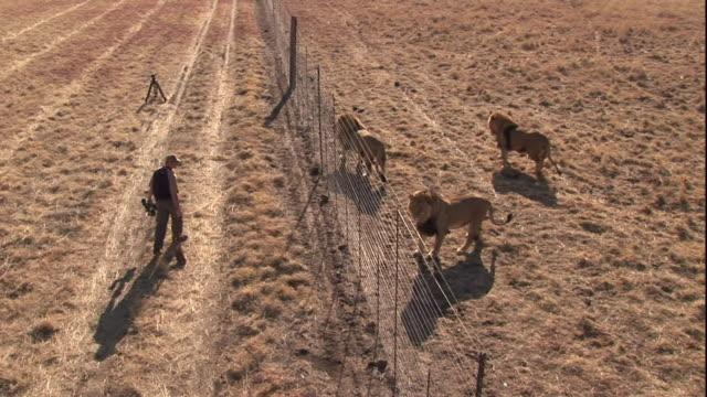 Lions follow cameramen dragging a piece of carcass along a fence.
