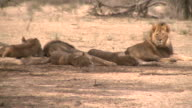 Lions in der Kalahari