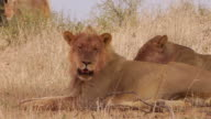 Lions in the Kalahari