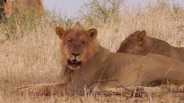 Lions in the Kalahari
