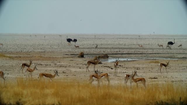 WS Lions lying down near waterhole / Namibia