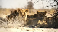 Lions lying in the shade of a tree