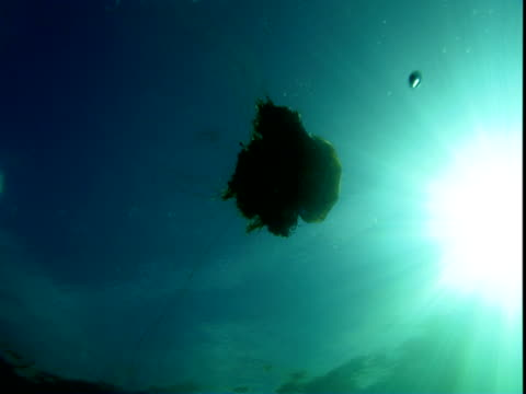 A lion's mane jellyfish swims toward the surface of the ocean.