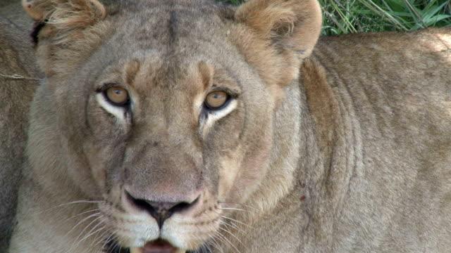 Lions panting/ Kruger National Park/ South Africa