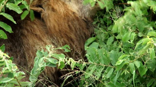 Lions rbbing manes/ Kruger National Park/ South Africa