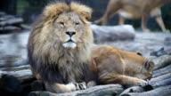 Löwen Schlafen zusammen.