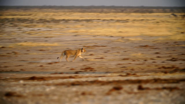 WS PAN Lions running in a hunt in savannah / Namibia