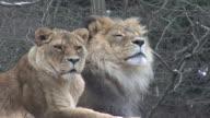 Lions Lehnen Sie sich in ein schneebedecktes Feld HD 1080 i 4:2: 2